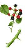 果子黑莓 免版税图库摄影