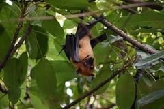 果实蝙蝠婴孩 图库摄影