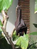 果实蝙蝠 库存照片