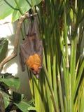 果实蝙蝠 免版税库存图片
