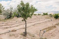 果树和床在白色土壤浇灌了与特别灌溉系统反对美丽的小山背景  免版税库存图片