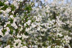 果树园与花春季的树枝 免版税库存照片
