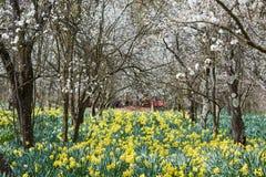 果树园和黄水仙领域 库存图片