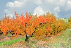 果树园在秋天 库存图片