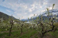 果树园在Lofthus, Hardanger地区,挪威 库存图片