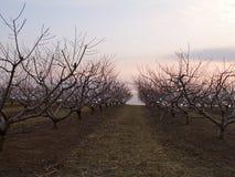果树园日落 免版税库存照片