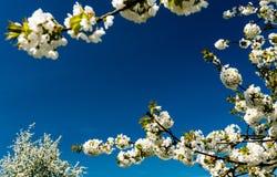 果树园树和开花的白色苹果树背景分支构筑与大量的蓝天拷贝空间 免版税图库摄影