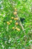 果树园美丽的热带水果 在绿色树的许多桔子果子 库存图片