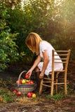 果树园采撷苹果的一个女孩在篮子 库存照片