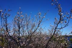 果树开花的分支反对蓝天的 在背景中,河是可看见的 免版税库存照片