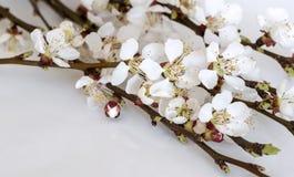果树的枝杈与开花和芽的 免版税图库摄影