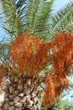 结果的棕榈树 免版税库存图片
