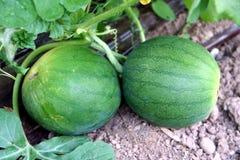 果类植物西瓜 免版税图库摄影