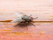 果蝇在木墙壁背景的飞行昆虫 库存照片