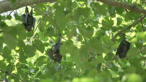 果蝠在树枝垂悬 股票视频
