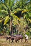 果阿,印度- 12月21 :犁农业领域的农夫  免版税库存照片