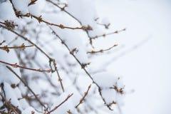 枝杈和雪在冬天 库存照片