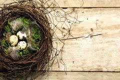 枝杈和青苔复活节巢用三根鹌鹑蛋和羽毛 库存图片