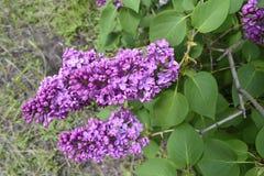 枝杈开花的丁香 免版税库存照片