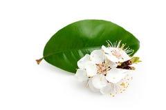 枝杈开花的杏子。 库存图片