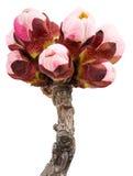枝杈开花的杏子 图库摄影