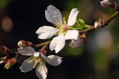 枝杈开花的杏仁 库存图片