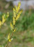 枝杈开花的杨柳 库存照片