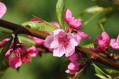 枝杈开花的桃子 免版税图库摄影