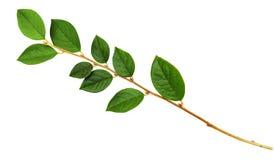 枝杈特写镜头有绿色叶子的 免版税图库摄影