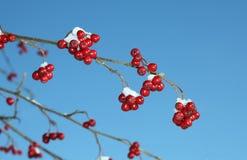 枝杈用花楸浆果冬天 免版税库存照片