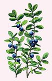 枝杈蓝莓 免版税库存图片