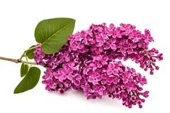 枝杈紫色丁香,寻常的紫丁香属植物,隔绝在白色backgroun 库存图片