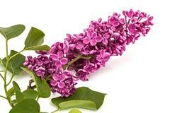 枝杈紫色丁香,寻常的紫丁香属植物,隔绝在白色backgroun 免版税图库摄影