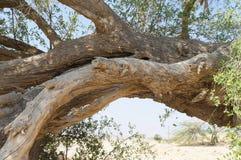 枣斯皮纳Christi树 免版税库存照片