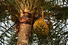 枣椰子分支与成熟日期,印度 免版税库存照片