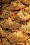 枣椰子树干枣椰子树的树干的质感粗糙的表面 库存图片
