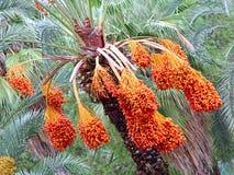 枣椰子树用开胃成熟果子 库存图片