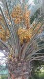 枣椰子树abu dhahi 库存照片