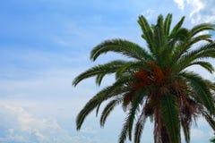 枣椰子用反对蓝天的果子 库存照片