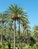 枣椰子的种植园 免版税图库摄影