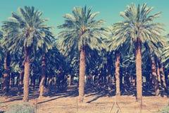 枣椰子种植园 免版税图库摄影