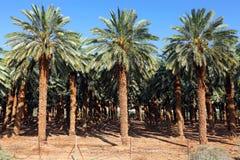 枣椰子种植园 库存照片
