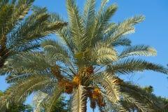枣椰子结构树的顶层 库存图片