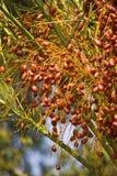 枣椰子结构树 免版税库存图片
