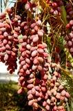 枣椰子 免版税库存图片
