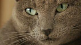 枪口灰色猫特写镜头 影视素材