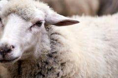 枪口绵羊 饲养的动物寒冷秋天 图库摄影