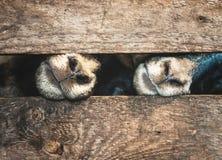 枪口绵羊和木笼子 库存照片