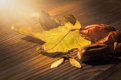 枫叶、koelreuteria paniculata叶子、枫树种子和橡子 免版税库存照片