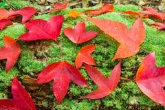 枫叶和绿色青苔 免版税库存图片